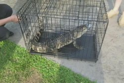 Alligator captured in Missouri creek was on the loose for 2 weeks