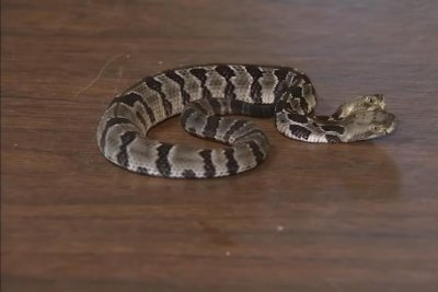 Two-headed rattlesnake found by researchers in New Jersey