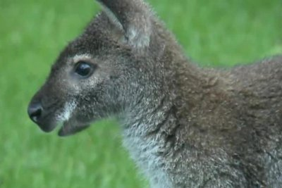 Escaped wallaby wrangled in Wisconsin neighborhood