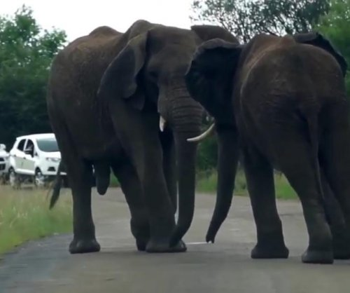 Elephants block traffic through game reserve with street brawl