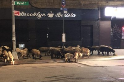 Escaped goats graze at side of Brooklyn road