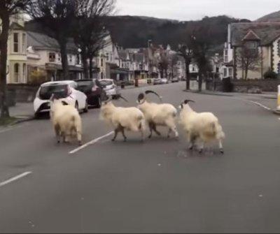 Goats overrun Welsh town amid coronavirus lockdown