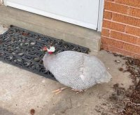 Illinois police seeking owner of 'belligerent' guinea fowl