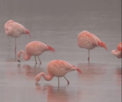 Netherlands birdwatchers surprised by rare flamingo visitors