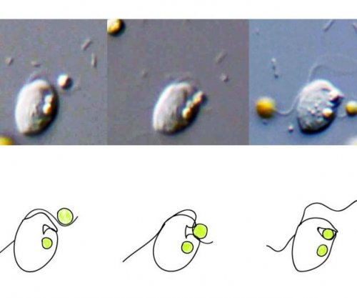New phagocytosis model predicts which cells can eat other cells