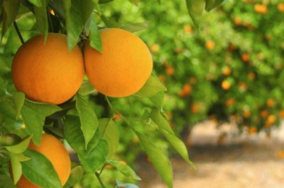 Orange juice, fresh citrus sales surge during pandemic