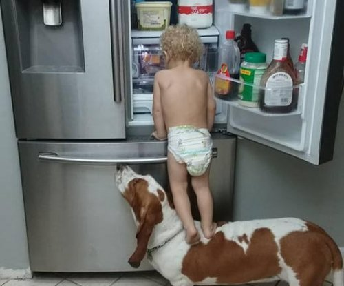 Toddler climbs on basset hound to get snacks from fridge