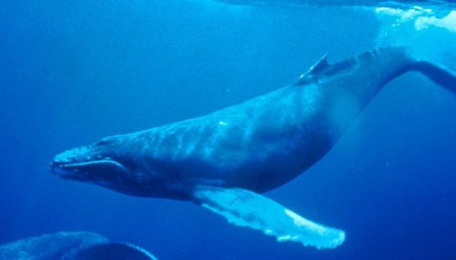 Whales share knowledge and learn from others much as humans do