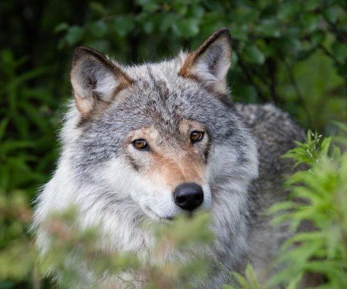 Norwegian court blocks wolf culling
