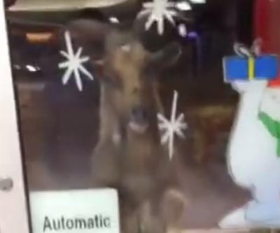 Rampaging goat tries to get into Northern Ireland store
