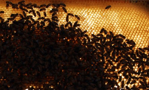 Some bees use inside voices, others belt it out