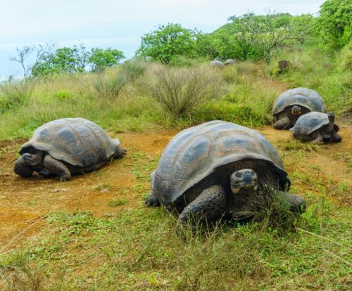 Giant tortoise migration follows upredictable pattern