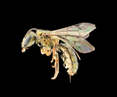 Bee biodiversity in flux on Fiji