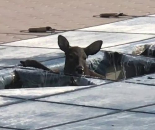 New York family helps trapped deer escape from covered pool