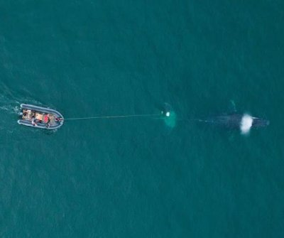 Humpback whale rescued from illegal fishing net in Mexico
