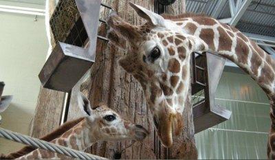 Canadian zoo euthanizes ailing giraffe