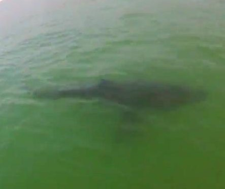 Great white shark approaches paddleboarders off California
