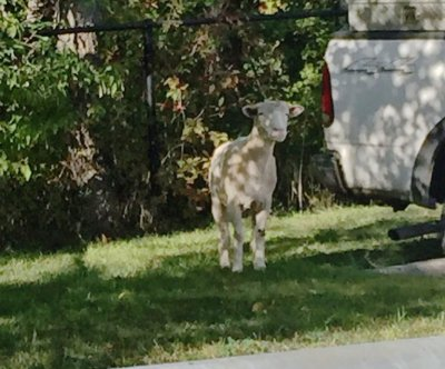 Police seek loose goat in Canada