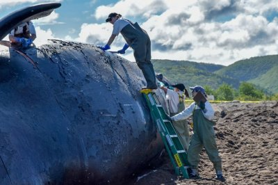 6 endangered North Atlantic right whales have died in Canadian waters this year