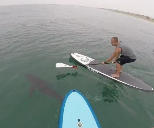 Paddle-boarders film great white sharks off California coast