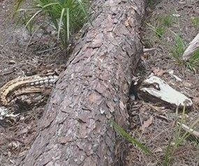 Crews find alligator crushed by hurricane-felled tree in Georgia