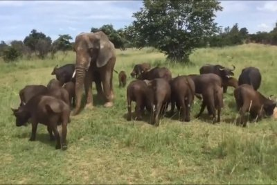 Elephant has been living with buffalo herd for 46 years