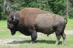 Baby bison goes wandering in North Carolina town