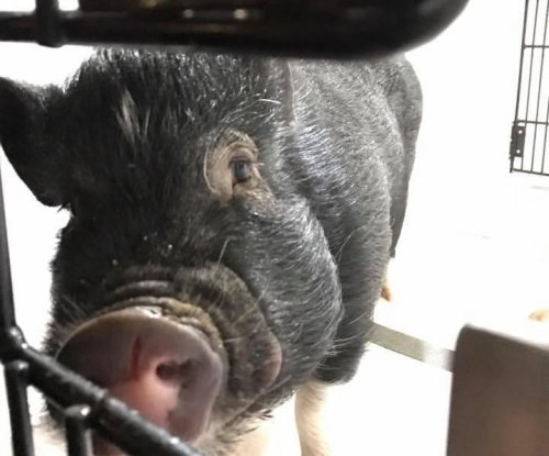 Wisconsin police rescue pig escaped from 'makeshift' pen