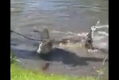 Pregnant alligator captured outside Florida school