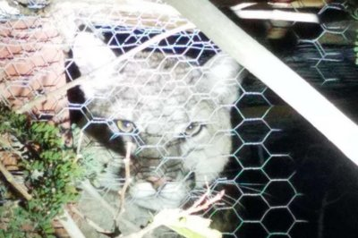 Mountain lion traps itself in homeowner's chicken coop