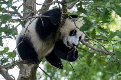 Smithsonian's National Zoo reopens Friday with debut of giant panda cub
