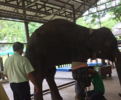 Elephant in Thailand gets prosthetic leg