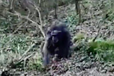 Chimpanzees-create-makeshift-ladder-to-escape-zoo-enclosure