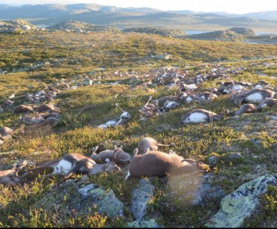 323 reindeer killed by suspected lightning strike in Norway