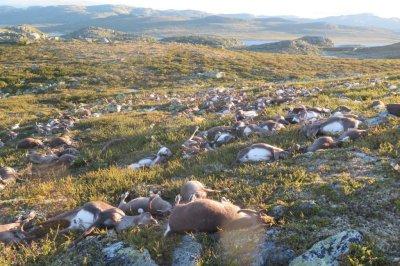 323 reindeer killed by suspected lightning strike in Norway