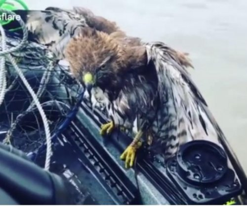 Hawk climbs aboard California man's kayak