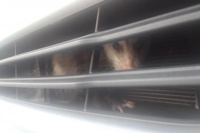 Opossum rescued from under hood of Florida woman's car