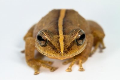 Puerto Rico's coquí is the Caribbean's oldest frog
