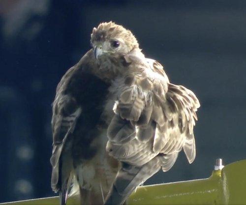 Hawk lands on foul pole, watches Yankees beat Blue Jays