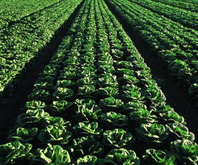 FDA begins testing romaine lettuce after E. coli outbreaks sicken hundreds