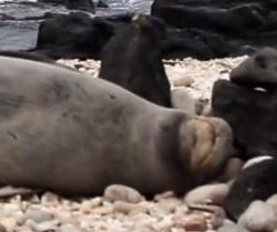 Sleeping seal sneezes itself awake in Hawaii