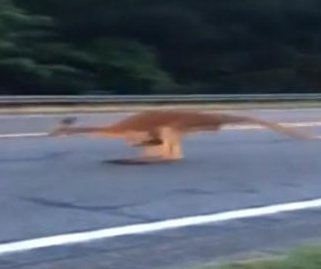 South Carolina kangaroo escapes twice in two days