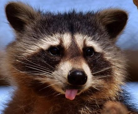 Raccoon knocks out power to over 3,000 in Florida