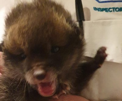 Stray puppy brought home by construction worker turns out to be fox cub