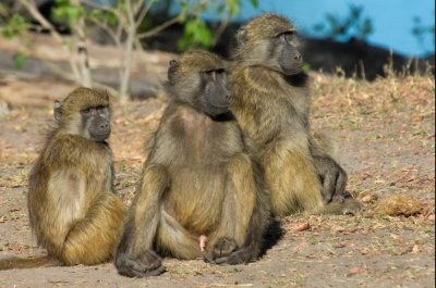 Bigger brains help primates cope with conflict