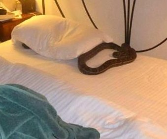 Resident wakes up to find invading python in her bed