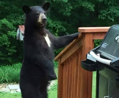 Maryland bear photographed walking around on its hind legs