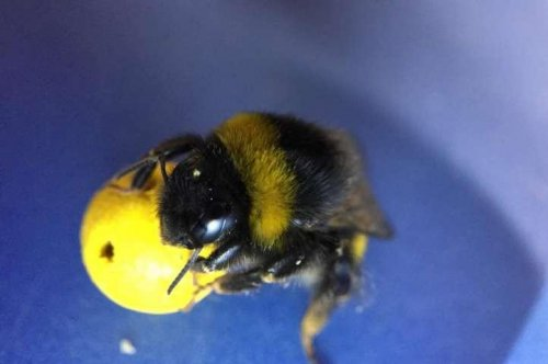 Bees learn to play soccer, showcase complex learning