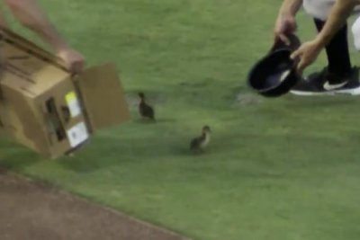 Darling ducklings invade field at Minor League Baseball game