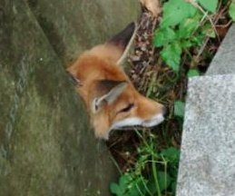 RSPCA rescues fox from 'grave mistake' in cemetery
